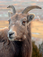 Portrait of a Badlands Bighorn Sheep