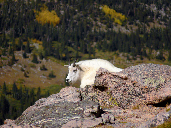 Nanny Goat Above Chicago Lakes